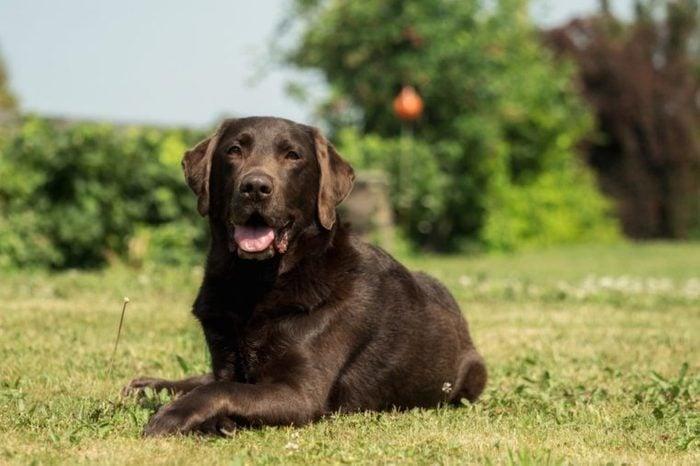 An old brown Labrador Retriever in the garden