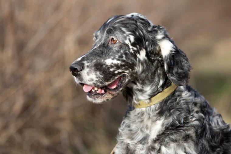 Setter s english dog, dog for a walk