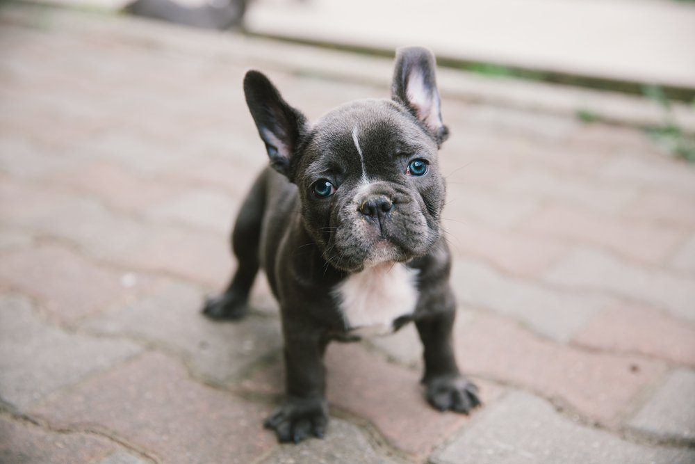 Adorable french bulldog puppy.