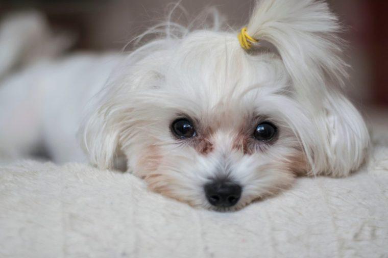 Maltese Dog Puppy