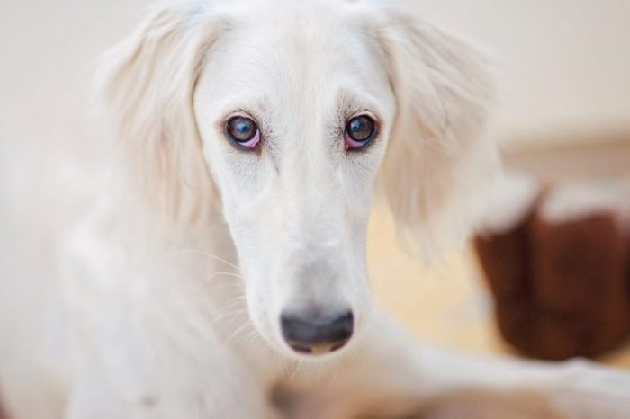 An alert little cute white saluki puppy (persian greyhound) is relaxed and staring to the camera.