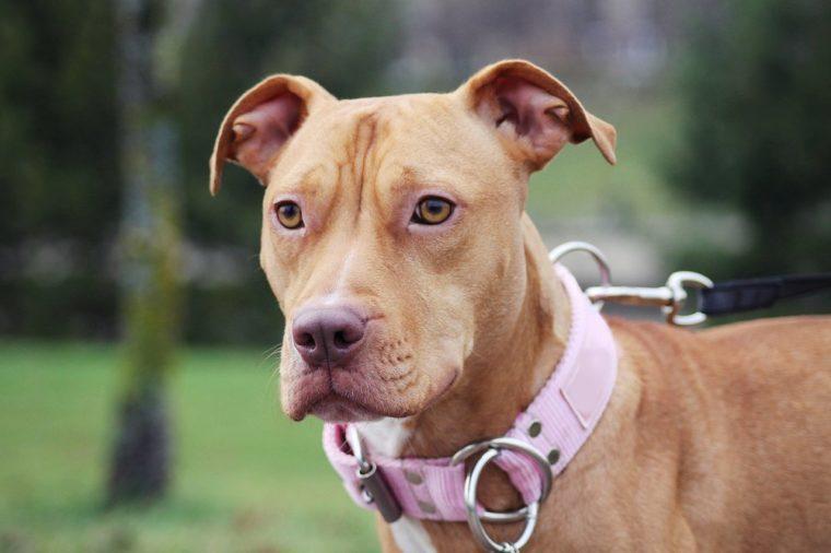 Pitbull terrier dog posing. Portrait of dog.