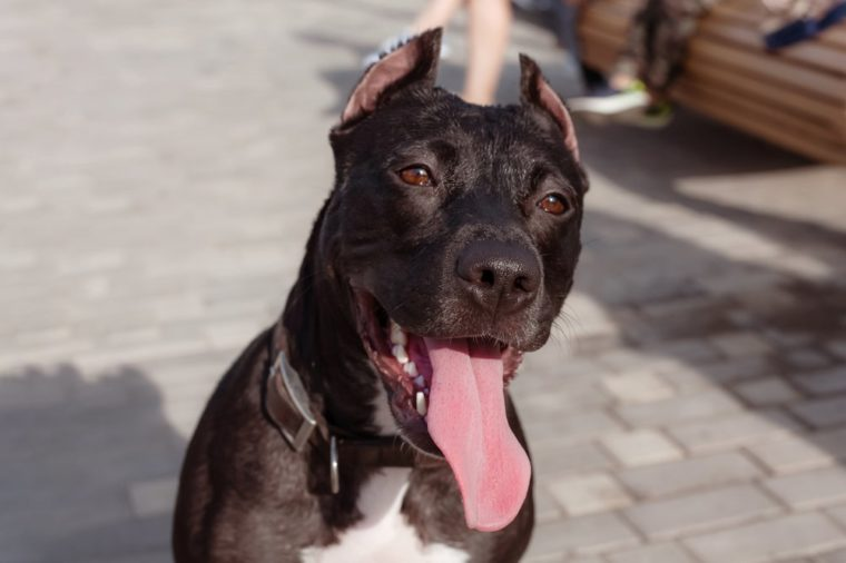 Smiling Brown and white American PitBull terrier in brown leather collar, with tongue inside, funny portrain of dog. Outside, sunny day