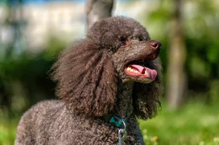 brown royal poodle in the summer on the grass