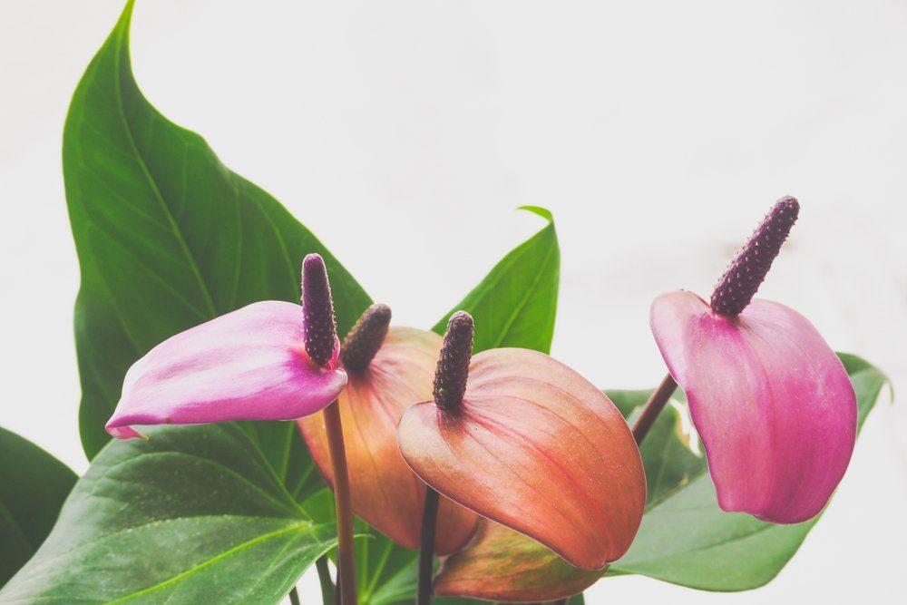 Anthurium flowers, close-up. Breeding plants.