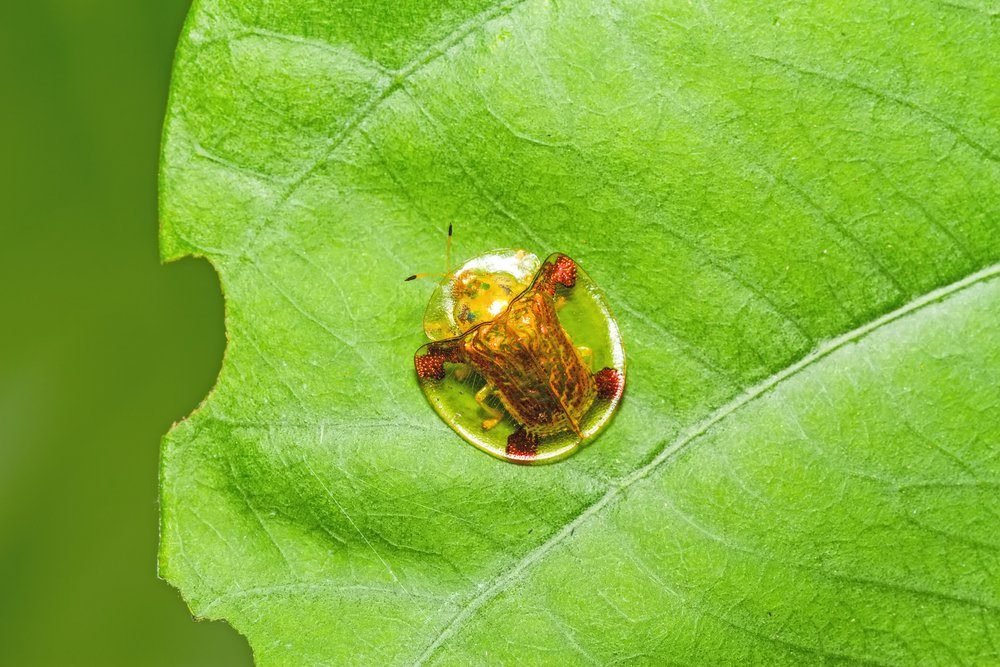 Golden tortoise beetle on green leaf with holes, eaten by insect
