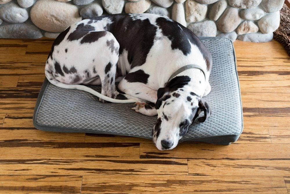 Cozy dog sleeping by fireplace on bamboo hardwood flooring, curled up sleeping.