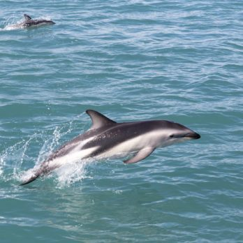 This Is the Rarest Dolphin Species in the World