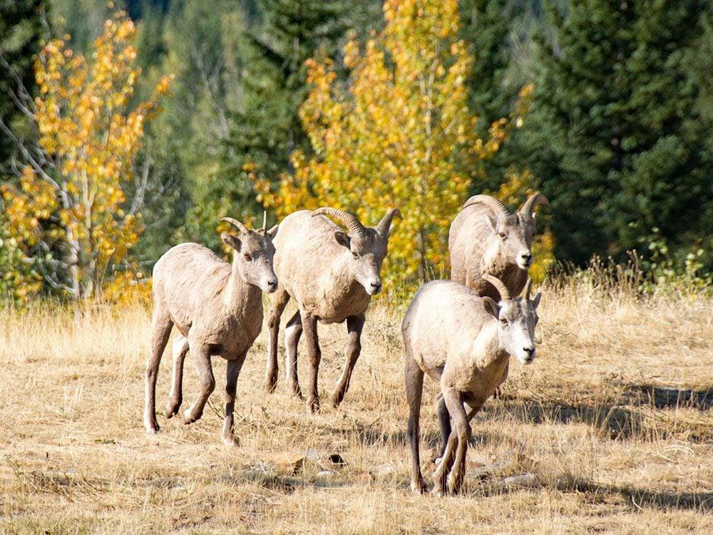 Bighorn sheep on Highwood Pass