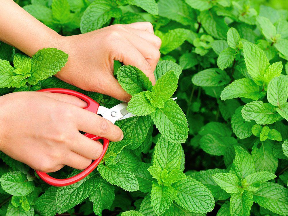 Carson Arthur - How to grow mint