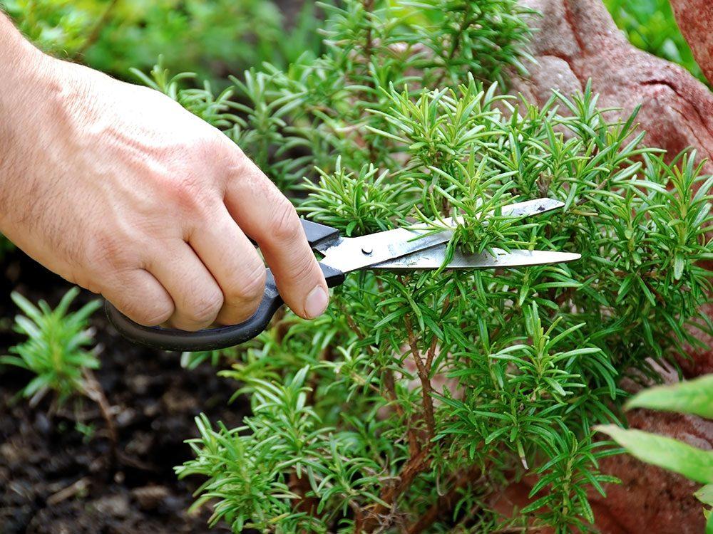 How to grow rosemary - Carson Arthur