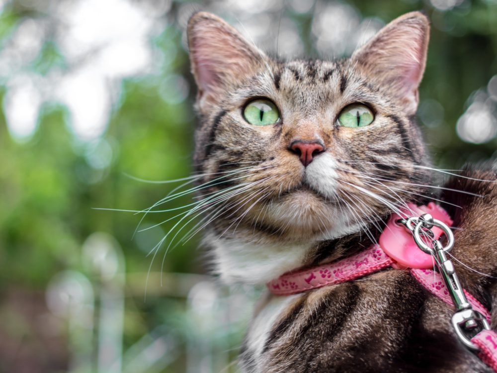 Cat with pink leash