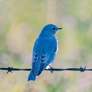 On the Mountain Bluebird Trail