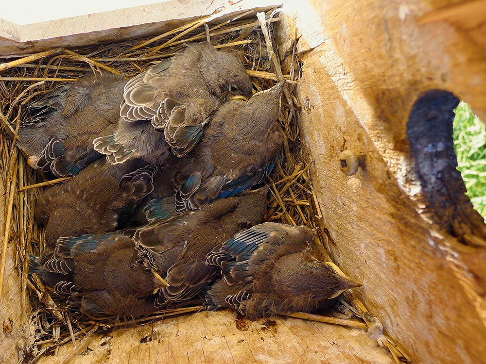 Mountain bluebird conservation