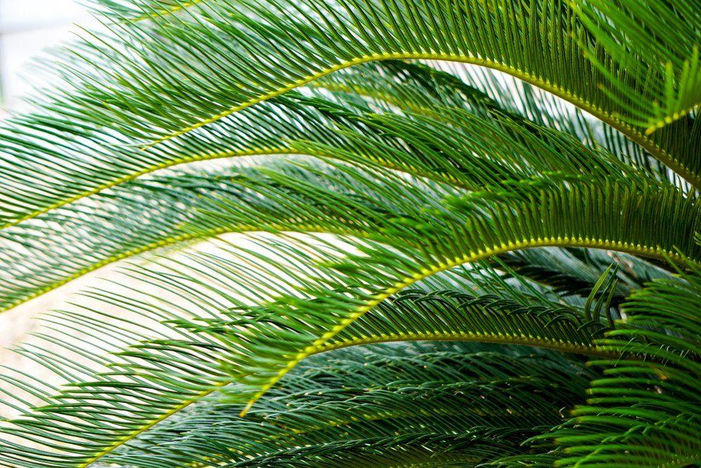 Phoenix roebelenii or pygmy date palm leaves pattern.