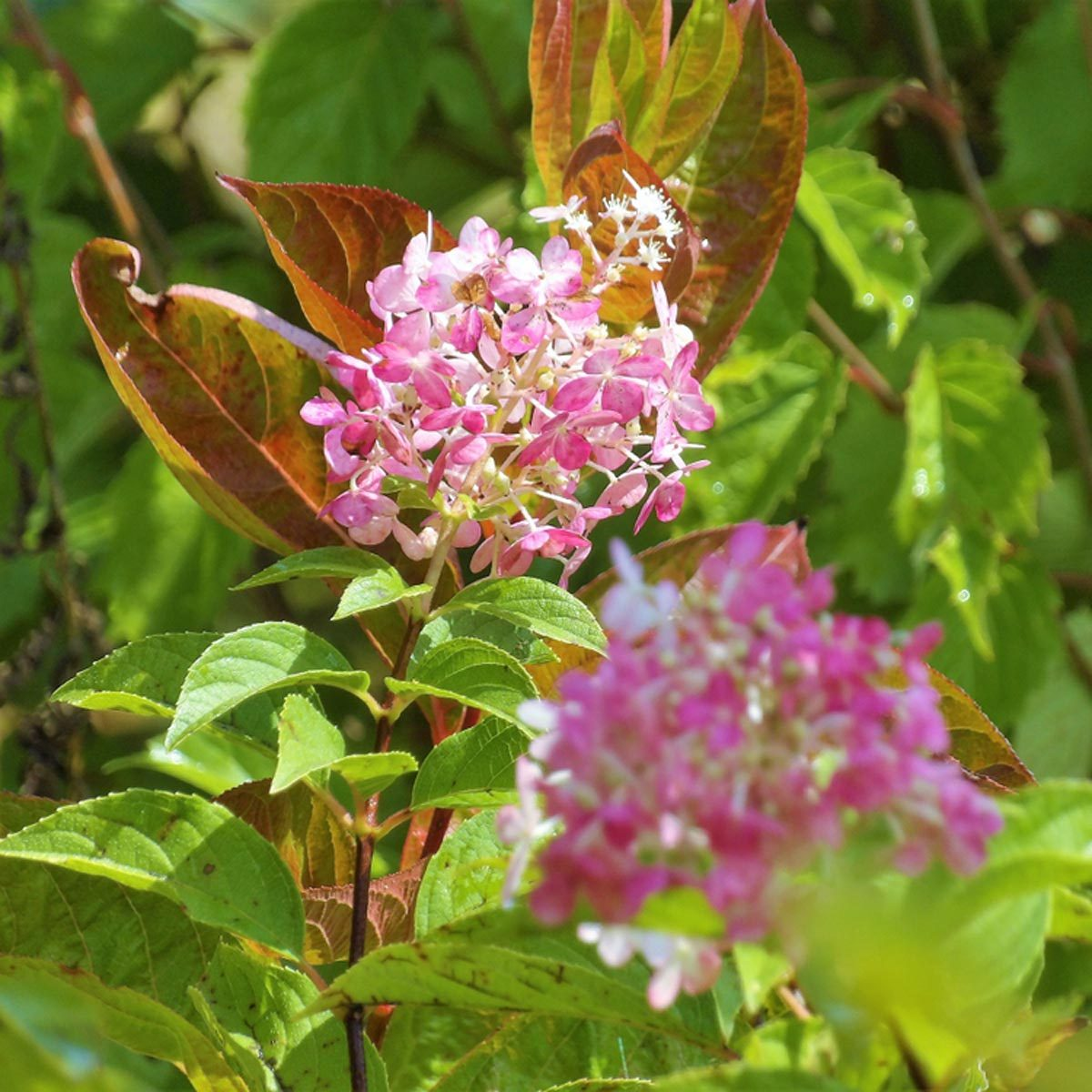 Panicle Hydrangea flowering shrub