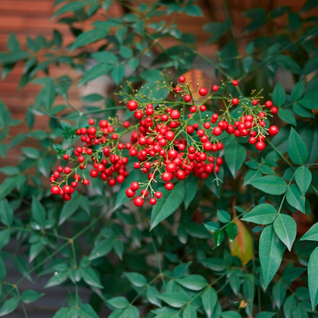 Nandina lucky plants