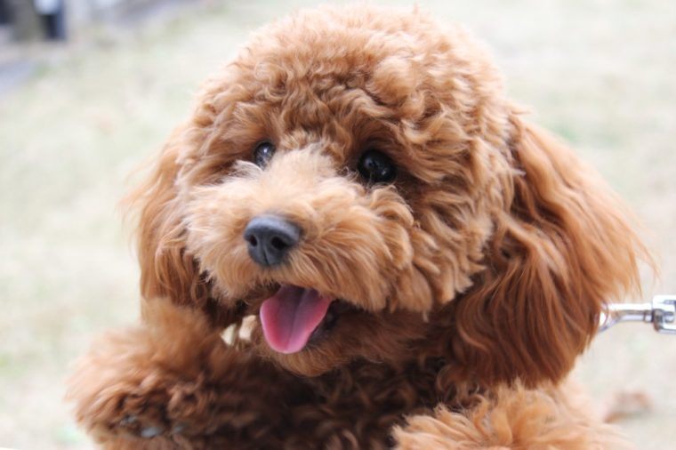 toy poodle cute