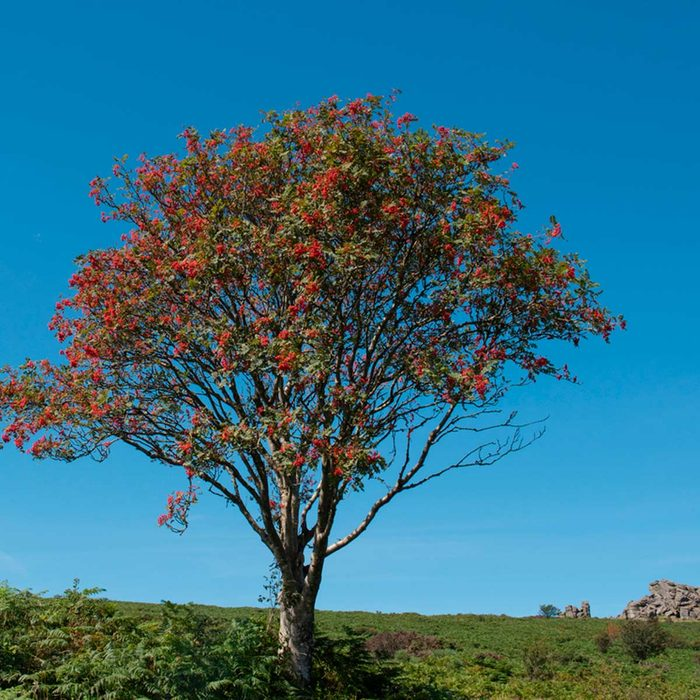 Lucky plants (tree)
