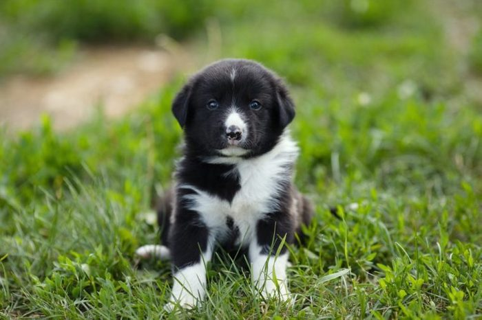 Little puppy sitting on a background of green grass.
