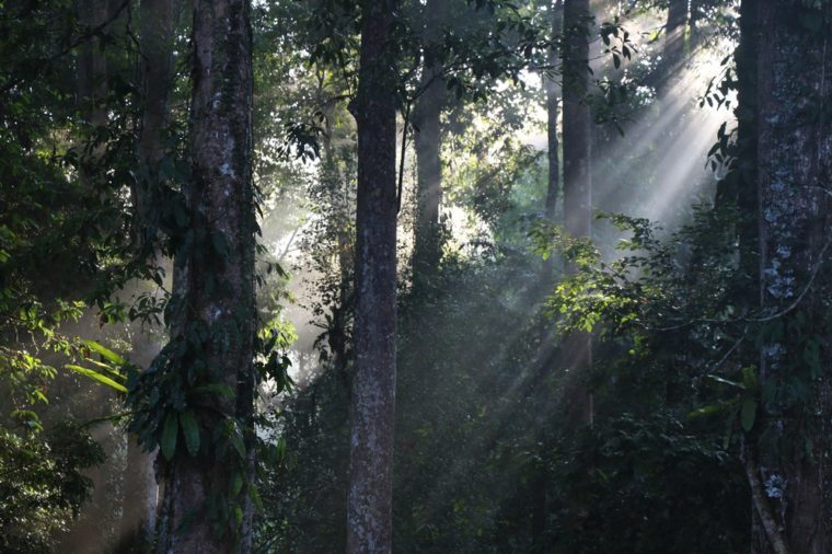 Sun rays coming through green forest leafs. Tawau Hills Park, Borneo, Malaysia, Southeast asia.