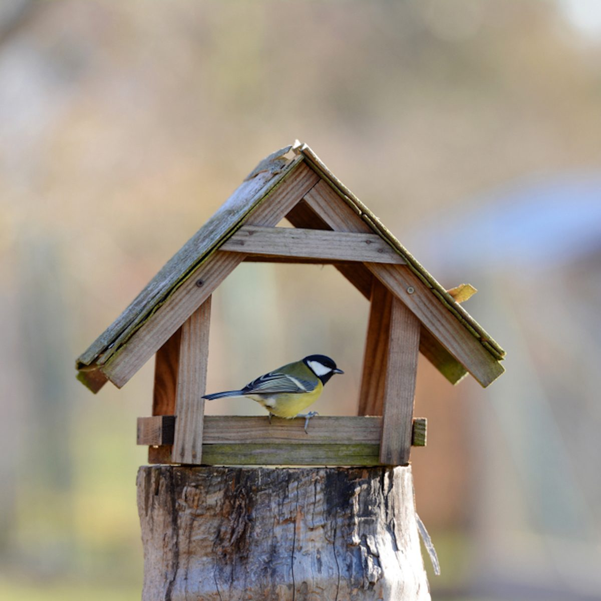 The Great Tit sitting on the bird feeder in the garden.