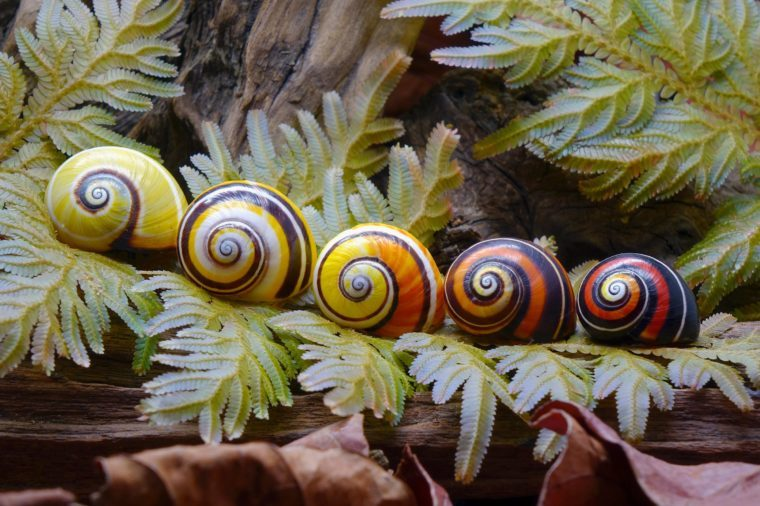 Cuban land snail (Polymita picta) or Painted snail, World's most colorful land snail from Cuba. Endangered and protected species. Selective focus.