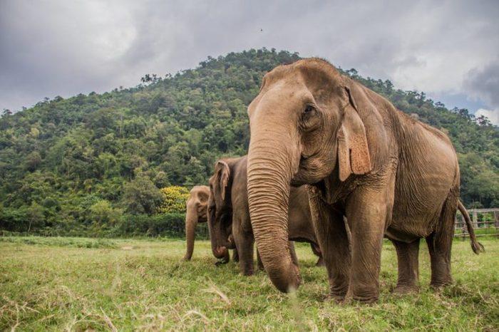 Elephants in Chiang Mai's Elephant Nature Park, Thailand