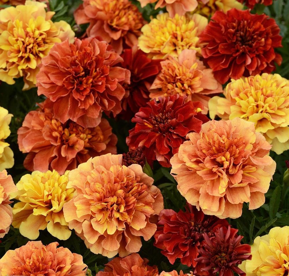 french_marigold_strawberry_blonde_bloom_12357