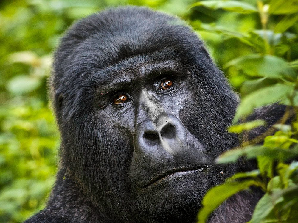Gorilla in Uganda, Africa