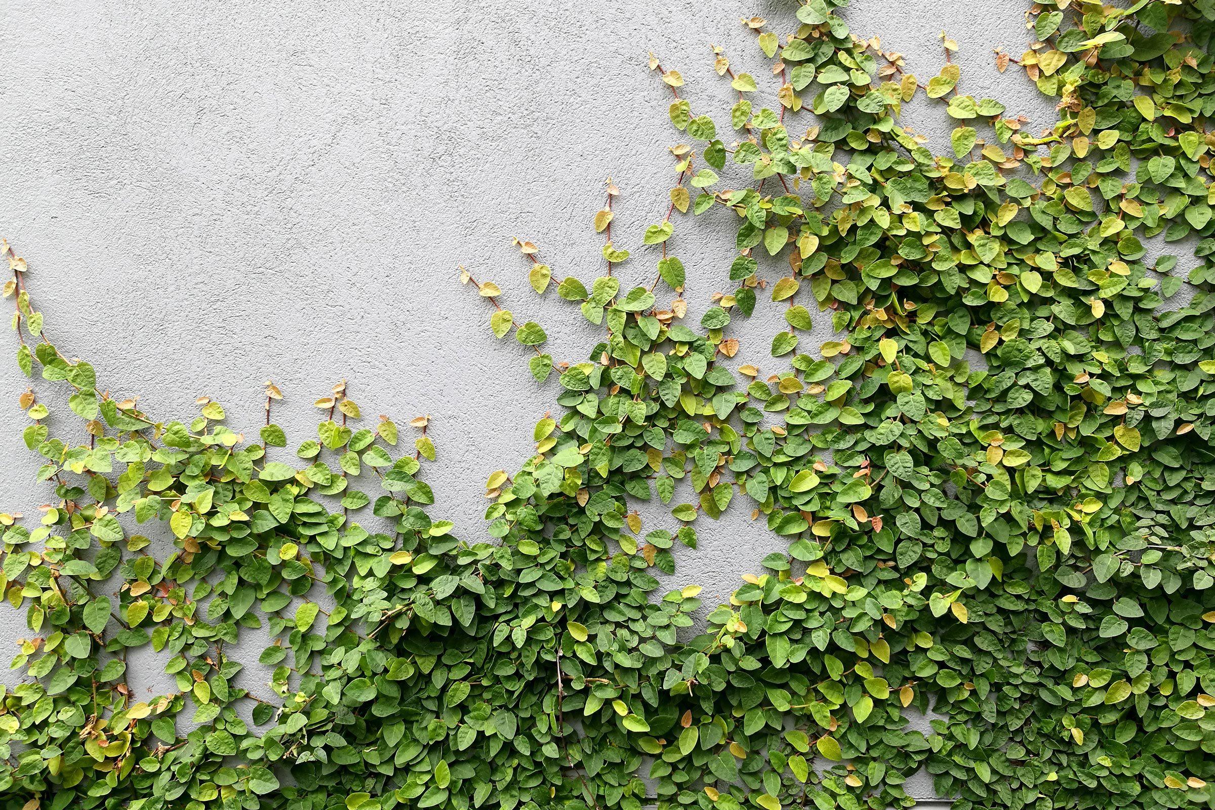 vine leaves wall