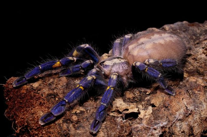 Metallic blue Peacock Tarantula, Gooty Tarantula 'Poecilotheria metallica'
