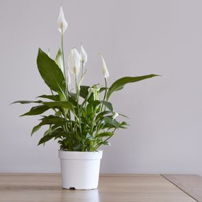 Hardy indoor plants - peace lily