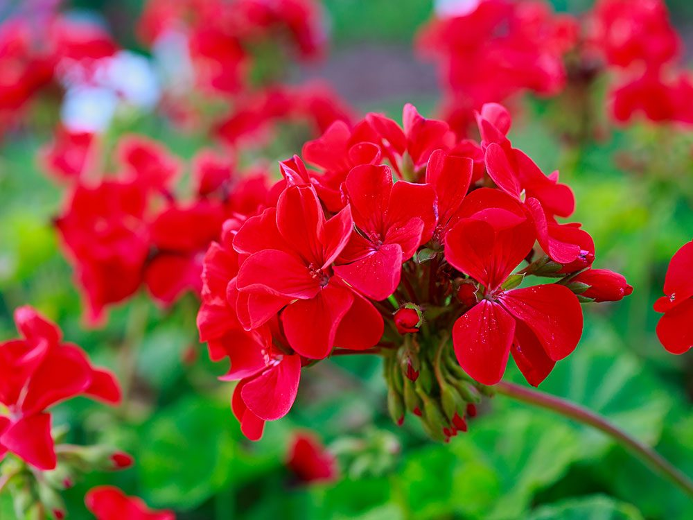 Save the bees - plant geraniums as a natural pesticide