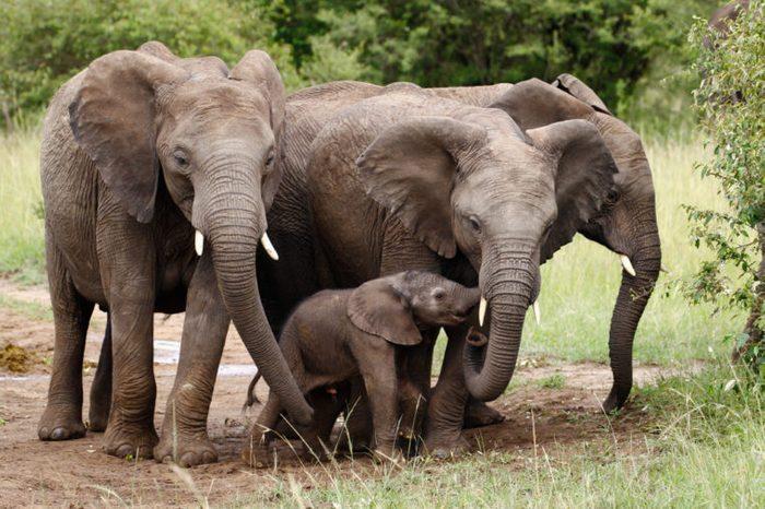 A family of elephants with a newborn little elephant