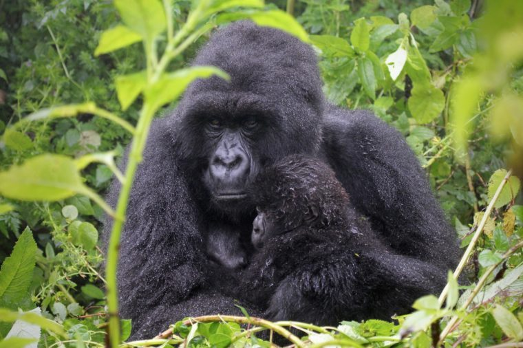 One of the most endangered animals, the Mountain Gorilla. In the wilds of the Virunga Mountains between the Congo and Rwanda. This mother and baby are part of the Susa Group, studied by Dian Fossey.