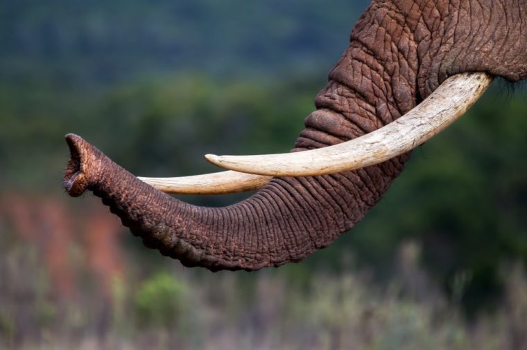Close up of the trunk and tusks of an endangered African elephant