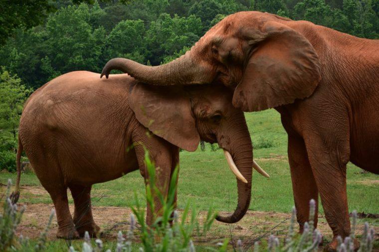 Elephants hugging and kissing, elephant love