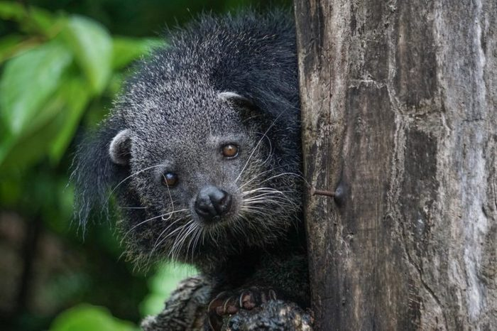 The Binturong (Bear) ,also known as bearcat, is a viverrid native to South and Southeast Asia.