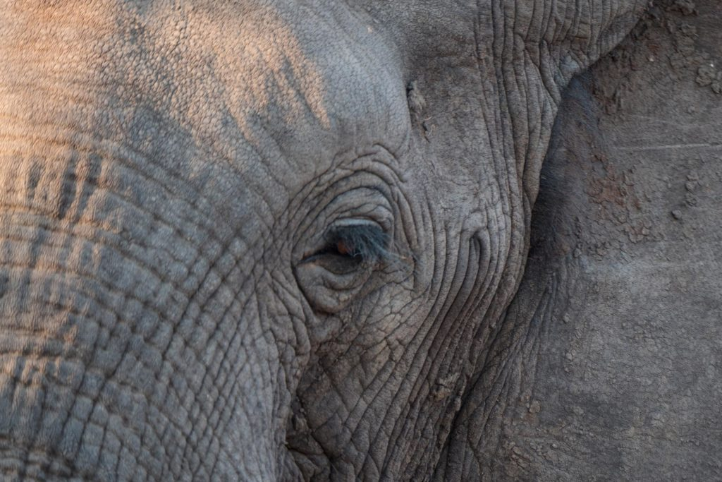 Elephant in Central Africa