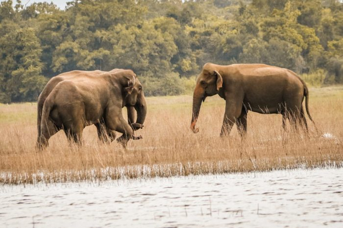 The Wild elephants meeting, Sri Lanka