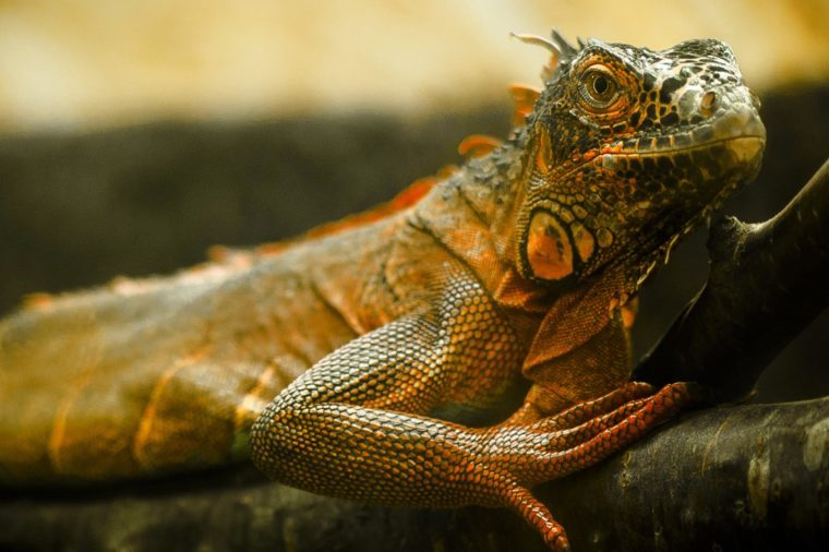 Close up of a green iguana in the wild, iguana on tree branches in the jungle