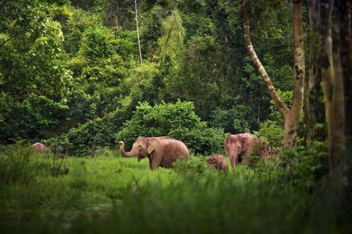 A family of Elephant