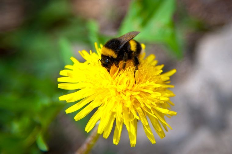 Rusty-patched Bumblebee gathering nectar from a yellow flower.