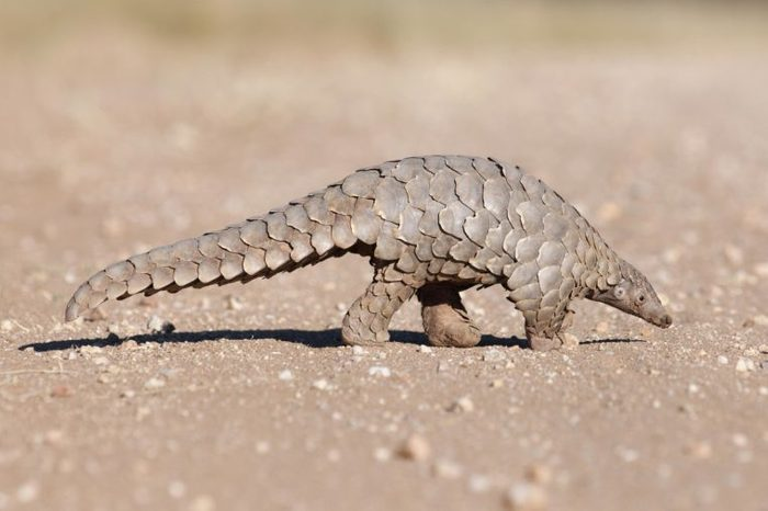 A Pangolin searching for ants.