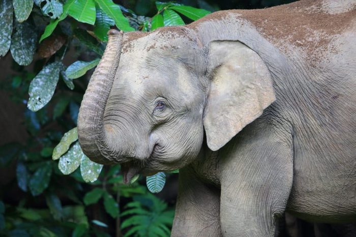 Borneo elephant (Elephas maximus borneensis) in Sabah, Borneo