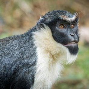 Monkey the Diana monkey (Cercopithecus diana) Wildlife animal.