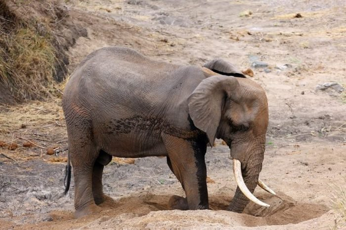 The African bush elephant (Loxodonta africana) a big male digging a waterhole in the sand in a dry river