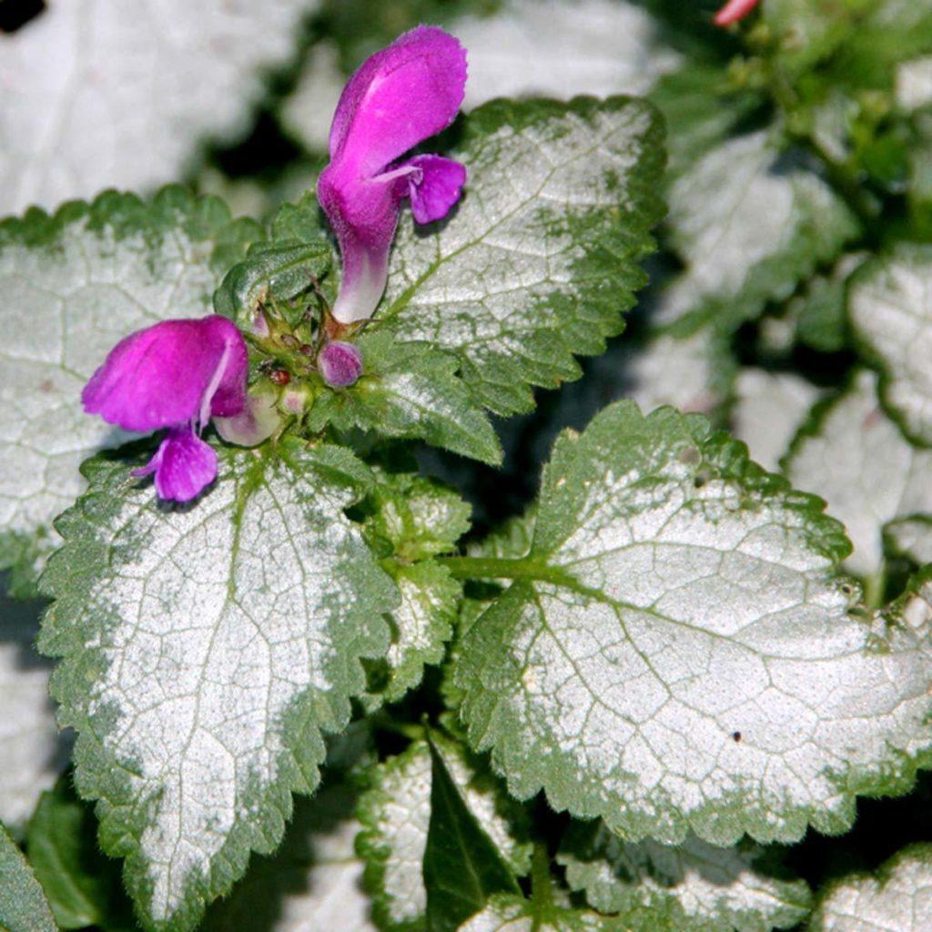 Lamium Shade Garden Flower