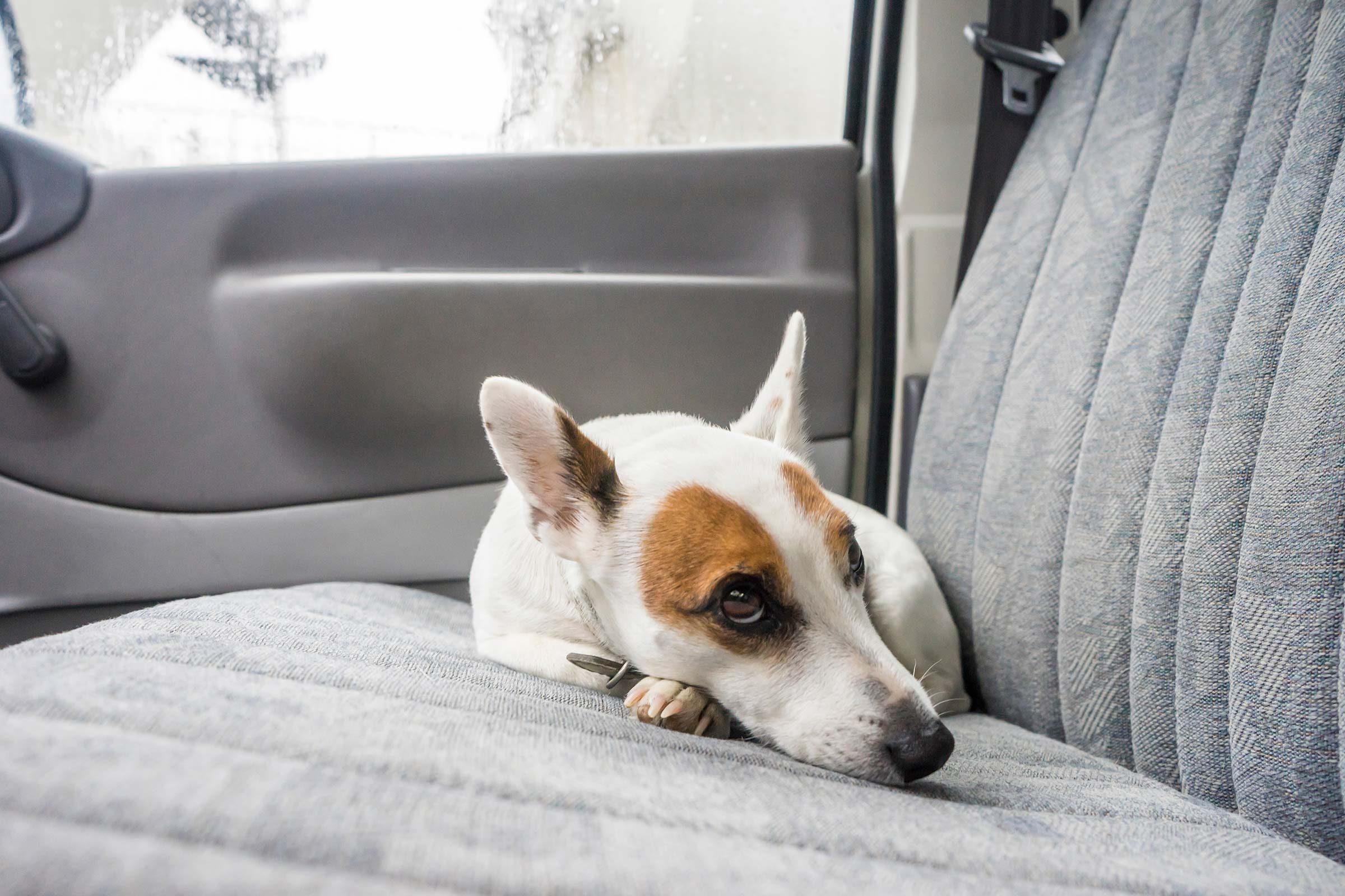 dog backseat